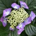 紫のガクアジサイ