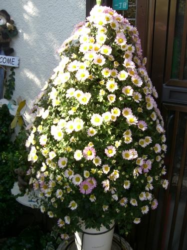 ツリーみたいな菊