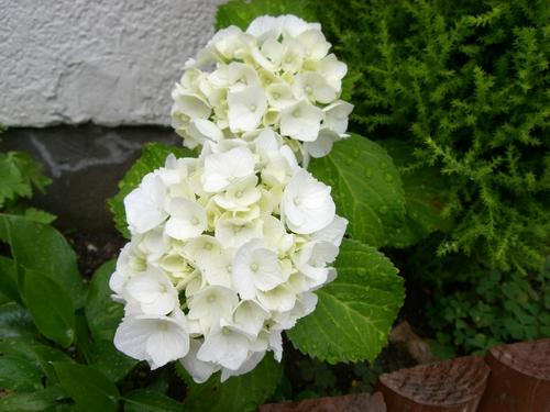 白いアジサイ