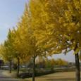 河回村のイチョウ並木