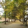 イチョウと松の並木