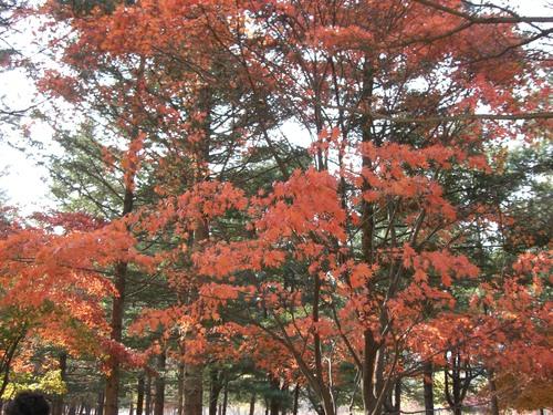 ナミソムの紅葉