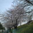 阪急線、土手の桜