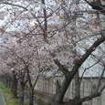 会社までの線路沿い、桜並木