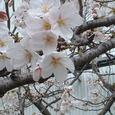 会社近く、線路沿いの桜