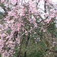 由布院の枝垂れ桜