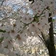 夙川の桜 4/7