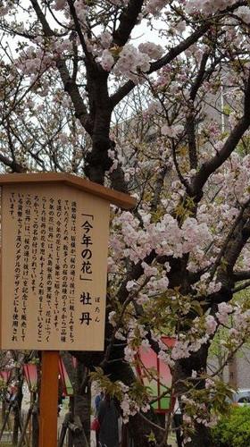通り抜け、今年の桜「牡丹」