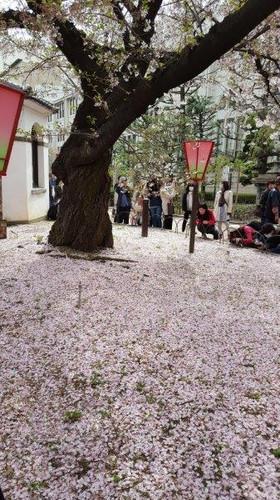 桜のカーペット