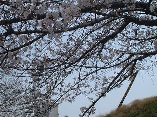 阪急線土手の桜