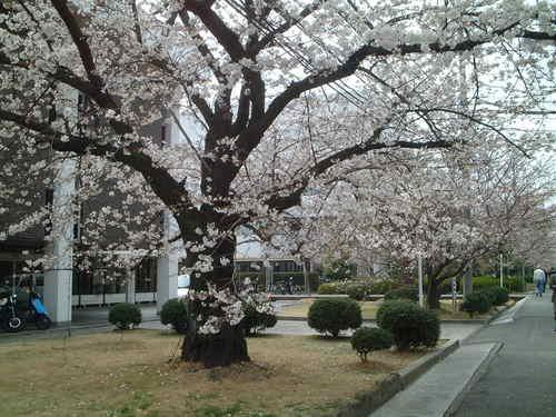 _会社前の桜並木