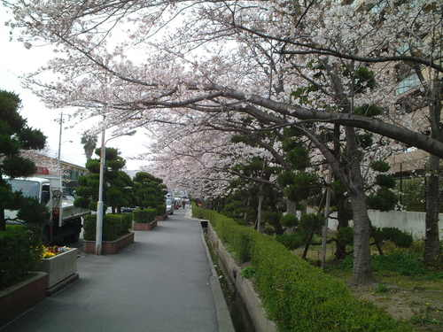 会社前の桜並木