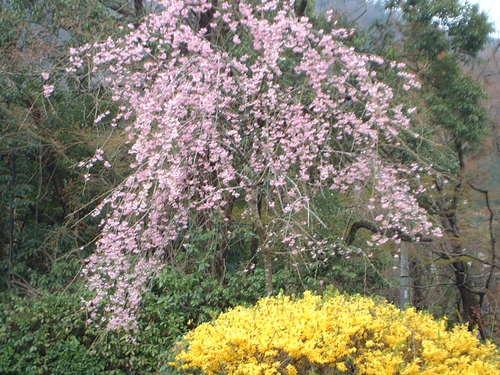 由布院の枝垂れ桜とレンギョ