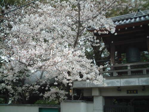 近所のお寺・鐘つき堂の桜