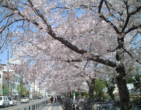 最寄り駅の桜並木