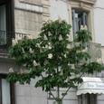 マドリッド/マロニエの花
