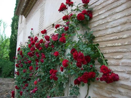 アルハンブラ宮殿/壁に這うバラ