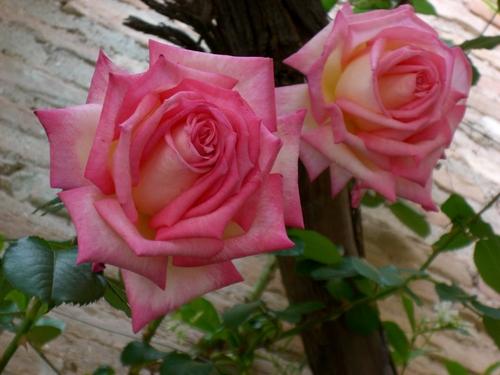 アルハンブラ宮殿/大輪のバラ