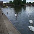 エイボン川に泳ぐ白鳥の群れ