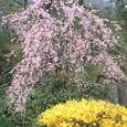 枝垂れ桜とレンギョ