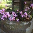 玉の湯の渡り廊下角の花