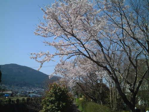 小川沿いの桜